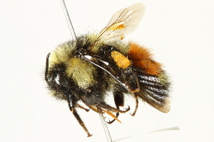 (Bombus sylvicola - 10BBCHY-3217)  @15 [ ] CreativeCommons - Attribution Non-Commercial Share-Alike (2011) BIO Photography Group Biodiversity Institute of Ontario