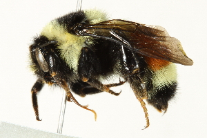 (Bombus ternarius - 10BBCHY-3218)  @15 [ ] CreativeCommons - Attribution Non-Commercial Share-Alike (2011) BIO Photography Group Biodiversity Institute of Ontario