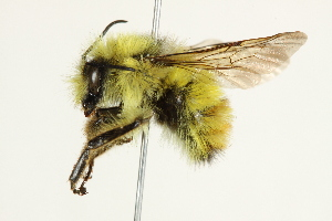 (Bombus flavifrons - 10BBCHY-3219)  @15 [ ] CreativeCommons - Attribution Non-Commercial Share-Alike (2011) BIO Photography Group Biodiversity Institute of Ontario