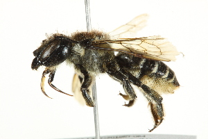 (Megachile inermis - 10BBCHY-3246)  @16 [ ] CreativeCommons - Attribution Non-Commercial Share-Alike (2011) BIO Photography Group Biodiversity Institute of Ontario