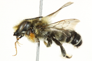 (Megachile frigida - 10BBCHY-3259)  @15 [ ] CreativeCommons - Attribution Non-Commercial Share-Alike (2011) BIO Photography Group Biodiversity Institute of Ontario