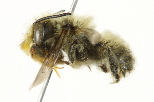 (Megachile perihirta - 10BBCHY-3261)  @15 [ ] CreativeCommons - Attribution Non-Commercial Share-Alike (2011) BIO Photography Group Biodiversity Institute of Ontario