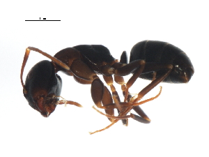 (Camponotus nearcticus - PCPP10-0471)  @14 [ ] CreativeCommons - Attribution Non-Commercial Share-Alike (2011) BIO Photography Group Biodiversity Institute of Ontario