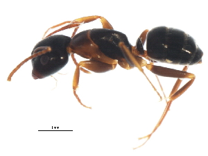 (Camponotus nearcticus - PCPP10-0474)  @15 [ ] CreativeCommons - Attribution Non-Commercial Share-Alike (2011) BIO Photography Group Biodiversity Institute of Ontario