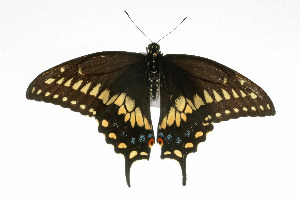 (Papilio polyxenes asterius - 09BBLEP-04952)  @12 [ ] CreativeCommons - Attribution Non-Commercial Share-Alike (2009) BIO Photography Group Biodiversity Institute of Ontario