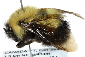 (Bombus perplexus - 06717D11-YT)  @16 [ ] CreativeCommons - Attribution Non-Commercial Share-Alike (2015) CBG Photography Group Centre for Biodiversity Genomics