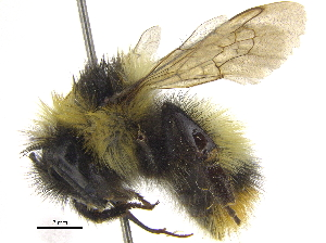 (Bombus frigidus - 06717F06-YT)  @15 [ ] CreativeCommons - Attribution Non-Commercial Share-Alike (2015) CBG Photography Group Centre for Biodiversity Genomics