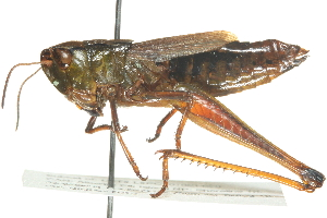 (Chorthippus curtipennis - BIOUG00739-F11)  @16 [ ] CreativeCommons - Attribution Non-Commercial Share-Alike (2011) BIO Photography Group Biodiversity Institute of Ontario