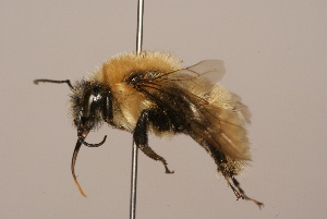 (Bombus amurensis - B3262-D02-CHN)  @17 [ ] Unspecified (default): All Rights Reserved  Unspecified Unspecified