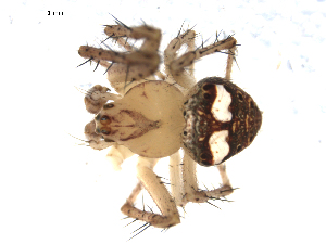 (Araneus partitus - CCDB-08514-A08)  @13 [ ] Copyright  G. Blagoev 2010 Unspecified