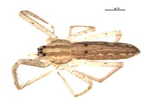 (Pisaurina undulata - CCDB-08519-C07)  @13 [ ] Copyright  G. Blagoev 2010 Unspecified