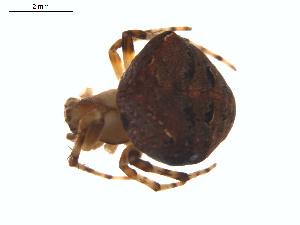 (Araneus montereyensis - BIOUG00888-E07)  @13 [ ] Copyright  G. Blagoev 2011 Unspecified