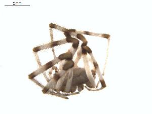 (Diguetidae - BIOUG01633-G06)  @12 [ ] Copyright  G. Blagoev 2011 Unspecified