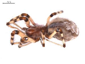 (Diguetidae - BIOUG01967-E04)  @12 [ ] Copyright  G. Blagoev 2012 Unspecified