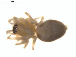 (Cheiracanthium inclusum - BIOUG01970-G04)  @13 [ ] Copyright  G. Blagoev 2012 Unspecified