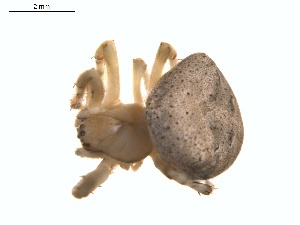 (Araneus montereyensis - BIOUG01577-C08)  @13 [ ] Copyright  G. Blagoev 2011 Unspecified