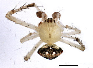 (Araneus miniatus - BIOUG01880-H05)  @13 [ ] CreativeCommons - Attribution Non-Commercial Share-Alike (2012) CBG Photography Group Centre for Biodiversity Genomics