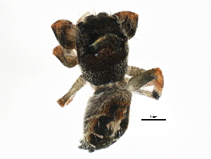 (Phidippus arizonensis - BIOUG01966-D01)  @13 [ ] CreativeCommons - Attribution Non-Commercial Share-Alike (2013) CBG Photography Group Centre for Biodiversity Genomics