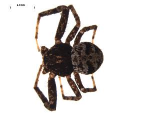 (Bassaniana utahensis - CCDB-05307-H11)  @14 [ ] CreativeCommons - Attribution Non-Commercial Share-Alike (2009) Gergin Blagoev, Biodiversity Intitute of Ontario Biodiversity Institute of Ontario