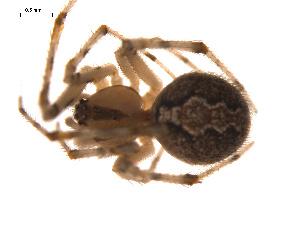(Theridion murarium - CCDB-05308-D05)  @13 [ ] CreativeCommons - Attribution Non-Commercial Share-Alike (2009) Gergin Blagoev, Biodiversity Intitute of Ontario Biodiversity Institute of Ontario