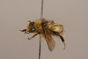 (Bombus longipennis - 1552C12)  @15 [ ] Copyright (2010) Paul Williams Unspecified