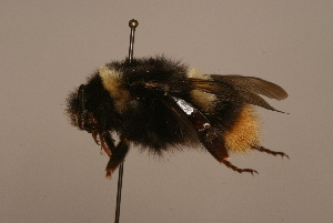 (Bombus hypocrita - 1552G10)  @15 [ ] Copyright (2010) Paul Williams Unspecified