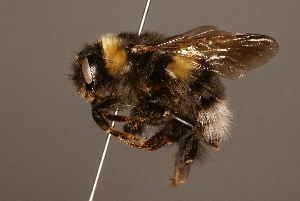 (Bombus longipennis - 0110-NEP)  @15 [ ] Unspecified (default): All Rights Reserved  Unspecified Unspecified