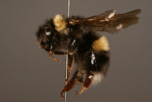 (Bombus longipennis - 0111-NEP)  @15 [ ] Unspecified (default): All Rights Reserved  Unspecified Unspecified