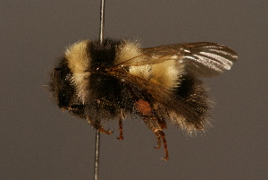 (Bombus personatus - 0007-CHN)  @15 [ ] Unspecified (default): All Rights Reserved  Unspecified Unspecified