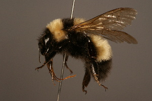 (Bombus difficillimus - 1437-CHN)  @14 [ ] Unspecified (default): All Rights Reserved  Unspecified Unspecified