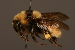 (Bombus fragrans - 1992-KAZ)  @15 [ ] Unspecified (default): All Rights Reserved  Unspecified Unspecified