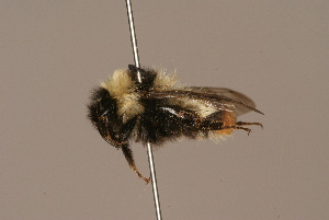 (Bombus cullumanus - 507-RUS)  @11 [ ] Unspecified (default): All Rights Reserved  Unspecified Unspecified