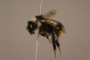 (Bombus handlirschianus - 511-ARM)  @14 [ ] Unspecified (default): All Rights Reserved  Unspecified Unspecified