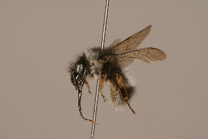 (Bombus convexus - 1550-312-CHN)  @13 [ ] Unspecified (default): All Rights Reserved  Unspecified Unspecified