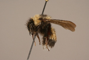 (Bombus sporadicus - 1550-609-MON)  @15 [ ] Unspecified (default): All Rights Reserved  Unspecified Unspecified