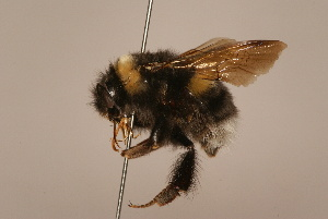 (Bombus longipennis - 1551-701-NEP)  @15 [ ] Unspecified (default): All Rights Reserved  Unspecified Unspecified