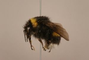 (Bombus longipennis - 1551-702-CHN)  @15 [ ] Unspecified (default): All Rights Reserved  Unspecified Unspecified