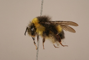 (Bombus longipennis - 1551-707-CHN)  @15 [ ] Unspecified (default): All Rights Reserved  Unspecified Unspecified