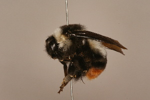 (Bombus tunicatus - 1551-710-NEP)  @14 [ ] Unspecified (default): All Rights Reserved  Unspecified Unspecified