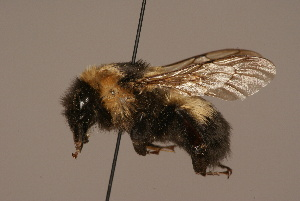 (Bombus mongolensis - 1550-1932-MON)  @14 [ ] Unspecified (default): All Rights Reserved  Unspecified Unspecified