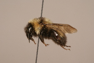 (Bombus mongolensis - 1935-MON)  @14 [ ] Unspecified (default): All Rights Reserved  Unspecified Unspecified