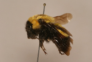(Bombus melanurus - 3829-KYR)  @15 [ ] Unspecified (default): All Rights Reserved  Unspecified Unspecified