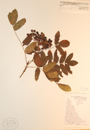 (Sorbus scopulina - CCDB-23321-E03)  @11 [ ] by (2016) Unspecified Unspecified