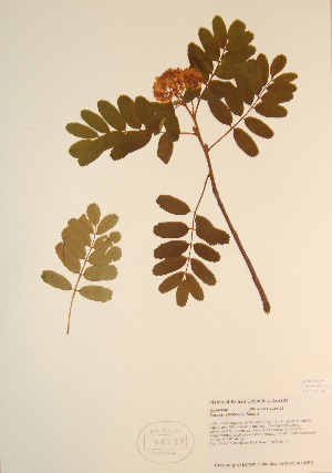 (Sorbus sitchensis - CCDB-23321-E04)  @11 [ ] by (2016) Unspecified Unspecified