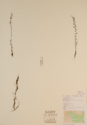 (Utricularia minor - CCDB-23321-G11)  @11 [ ] by (2016) Unspecified Unspecified