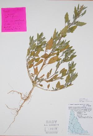 (Chenopodium murale - BABY-10012)  @11 [ ] by (2017) Unspecified B.A. Bennett Yukon herbarium (BABY)