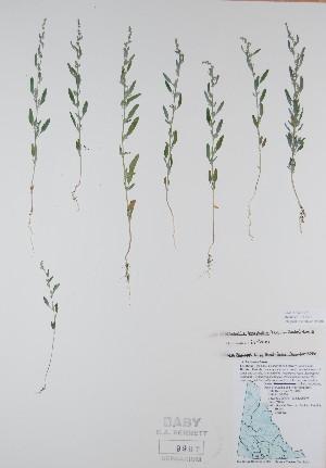 (Chenopodium leptophyllum - BABY-09997)  @11 [ ] by (2017) Unspecified B.A. Bennett Yukon herbarium (BABY)
