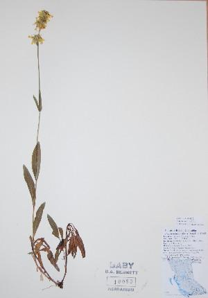 (Penstemon confertus - BABY-10053)  @11 [ ] by (2017) Unspecified B.A. Bennett Yukon herbarium (BABY)