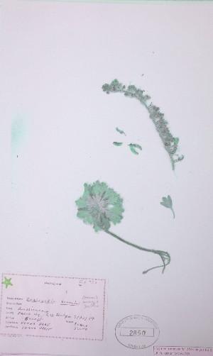 (Smelowskia - UAAH2850)  @11 [ ] by (2017) Unspecified B.A. Bennett Yukon herbarium (BABY)