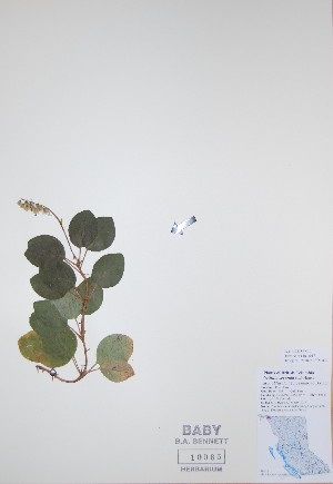 (Orthilia - BABY-10065)  @11 [ ] by (2017) Unspecified B.A. Bennett Yukon herbarium (BABY)